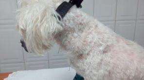 Acupuntura para problemas de piel en mascota